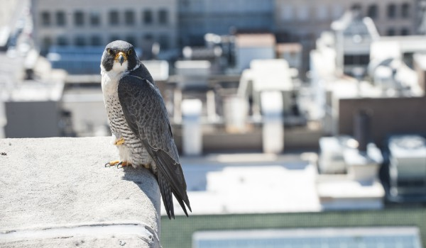 Peregrine Falcon perched on building ledge in the city.