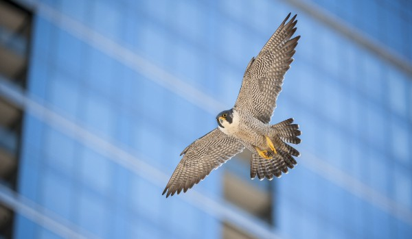 Peregrine Falcon flying by building in the city